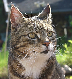 pet, cat, cat face, dear, mieze, tiger cat, cute cat