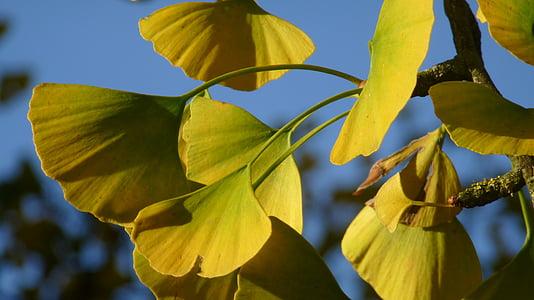 ginko biloba, nature, trees, tree leaf, leaf, tree, plant