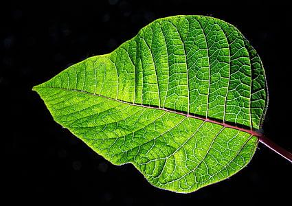 Zelená, Leaf, Príroda, žily