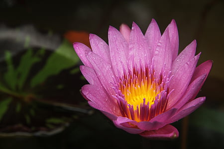 lotus, fire, burning, lotus leaf, dew, water Lily, lotus Water Lily