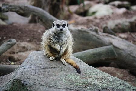 Meerkat, Mangust, suricate, suricata suricatta, Zoo, looma
