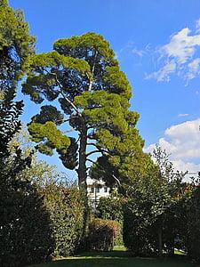 borovica, stromy, vysoké stromy, Zelená, Greenwood, modrá obloha, vonku