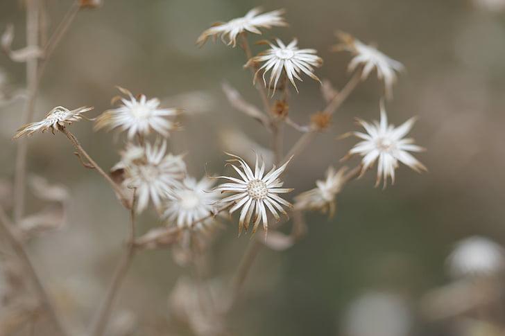 flor, sec, verd, marró, flors, macro