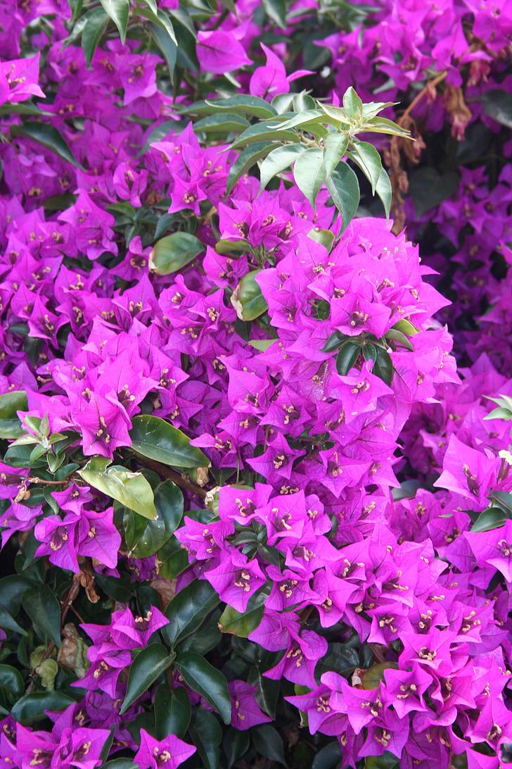 бугенвиллеи, растения, Цветы, Блум