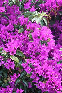 murvafürtök, növények, virágok, Bloom