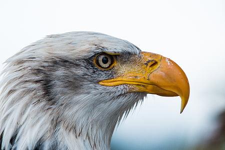 Белоголовый орлан, Haliaeetus leucocephalus, Адлер, ящер, Хищная птица, птица, перо