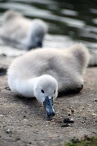 mute swan, mute swan signet, swan, signet, eating