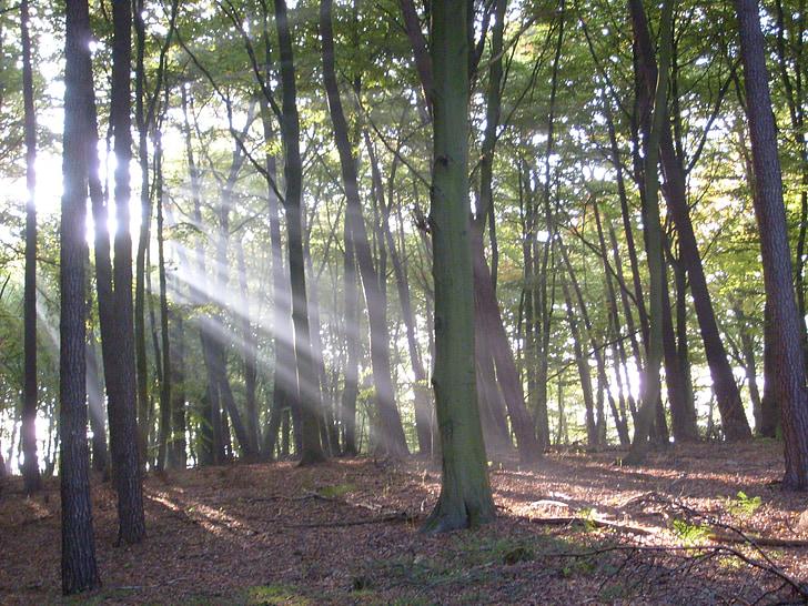 bosc, arbres, Sunbeam, morgenstimmung