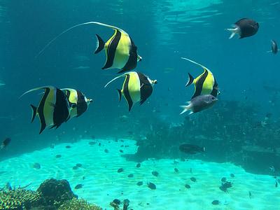 Peix pallasso, món submarí, blau