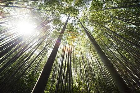 bambou, Damyang, Sunshine, Forest, arbre, nature, bambou - plante