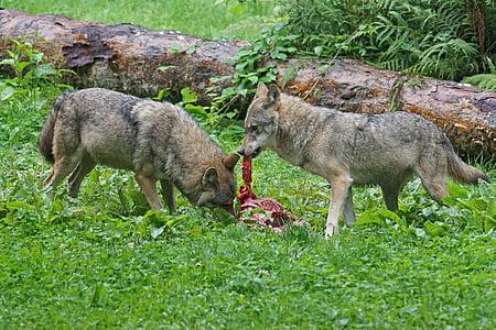 Wolf, Predator, Euroopa wolf, kiskjaliste, imetaja, saagiks, crack