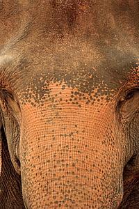 slon, Srí lanka, Sri, Lanka, sirotinec, Pinnawala, Príroda