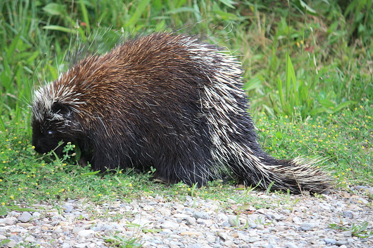 Kanadski dikobraz, bodljikavo prase, Kanada, životinja, bodljikavo, potaknuti