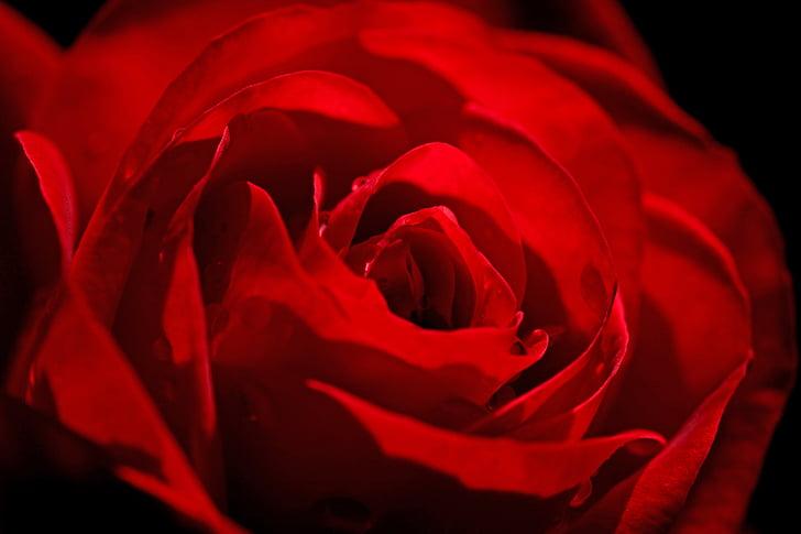 rose, red, flower, red rose, rose bloom, beauty, romantic