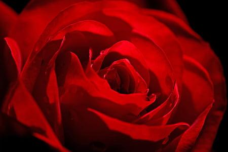 上升, 红色, 花, 红玫瑰, 玫瑰绽放, 美, 浪漫