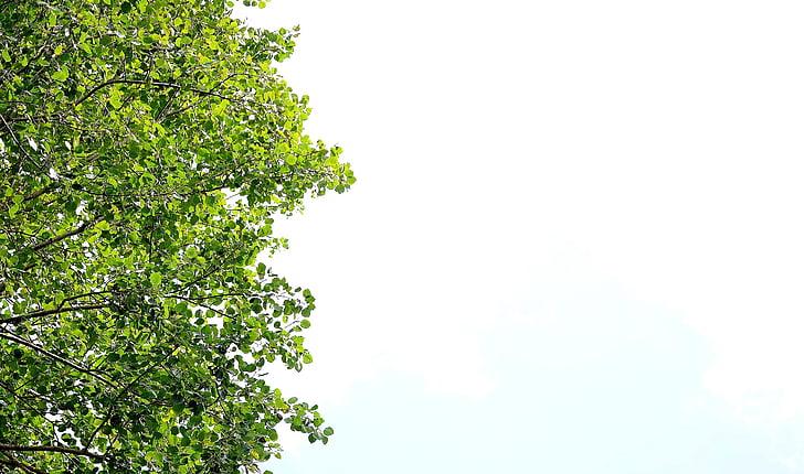 listov, zelena listna, zelena, narave, pozimi listov, zelenjave, velik listov