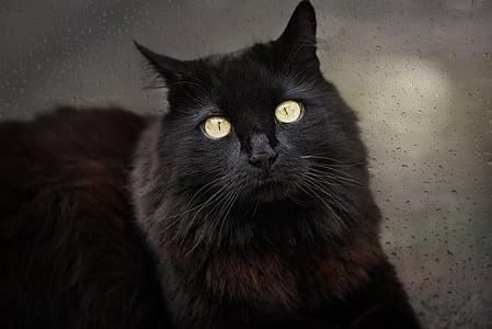 mačka, Crna mačka, Crna, ljubimac, životinja, prozor, staklo