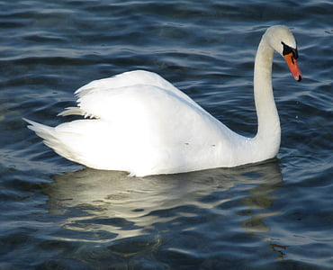 mute swan, bird, swan, majestic, plumage, beaded, lake