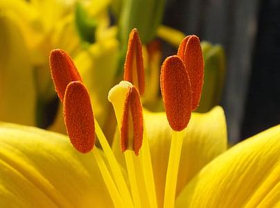 lilled, lilled, kollane, loodus, kollane lill, Kevadlilled, Bloom