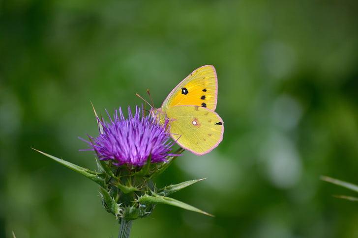 se nubló la mariposa amarilla, mariposa en flor, mariposa disfruta de nector