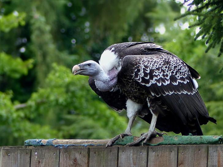 petolintu, suuri, korppikotka, Bird park walsrode, Sulje, pysyvän