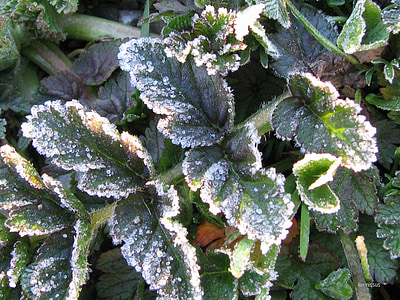 frost, winter, leaves, cold, foliage, spring, green