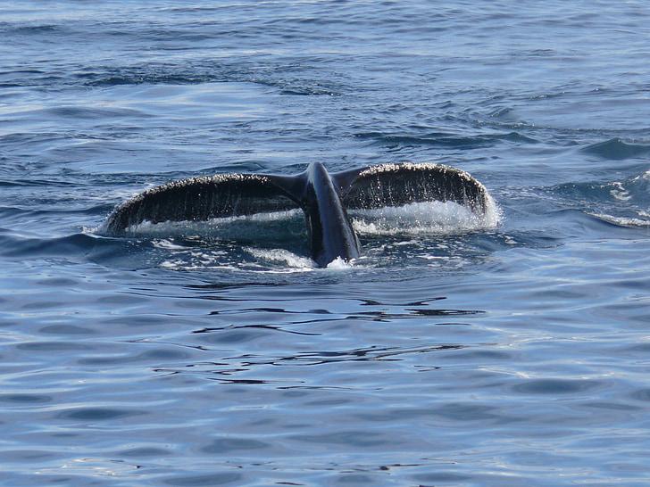 Wal, плавник, Антарктида, Южный океан