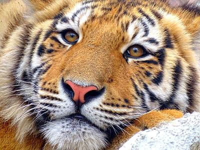 tiger, animal, zoo, animal wildlife, animals in the wild, one animal, striped
