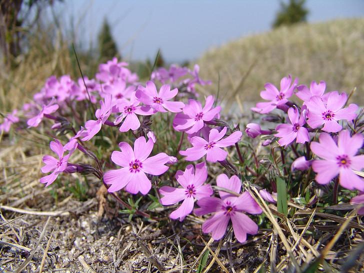 herba flors, herba, flors, natura, flor rosa