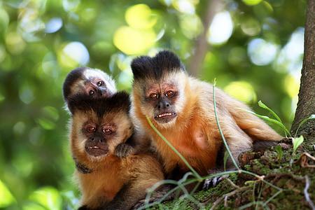 micos, les ungles, família, primats, natural, hàbitat
