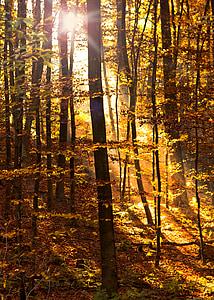 bosc, llum del sol, feix de llum, camí del bosc, torna la llum, natura, arbres