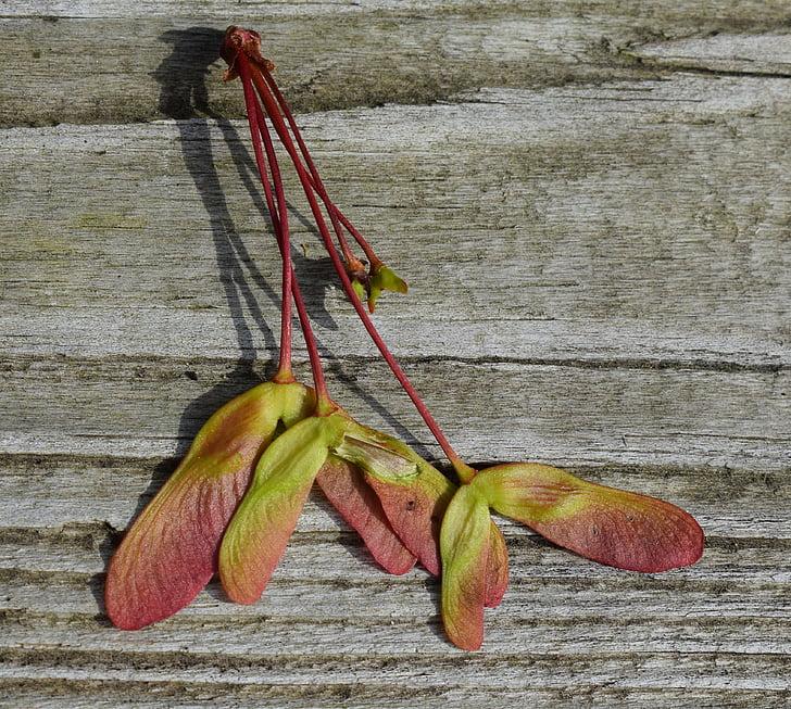 vaher seemned, vaher seemne, Värviline, vaher, Acer, puu, taim