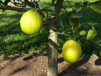 llimoner, llimona, Agra, groc, fruita, aliments, vitamines
