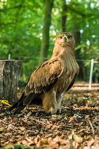 bird of prey, nature, bird, animal, birds, feathers
