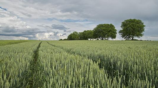 herba, camp, gris, cel, camp de blat, cereals, l'agricultura