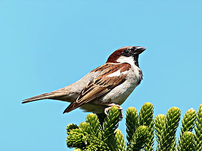 врабче, птица, Dom, лети, гнездо, небе, малка птичка