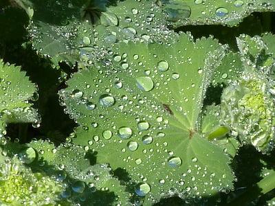 frauenmantel, 叶, 露珠, 水一滴, 绿色, 滴灌, 植物