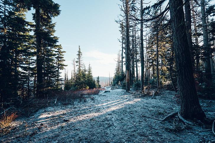 marró, verd, arbres, bosc, boscos, neu, fred