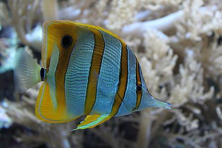 peix, oceà, natura, sota l'aigua, Coral, escull, Mar