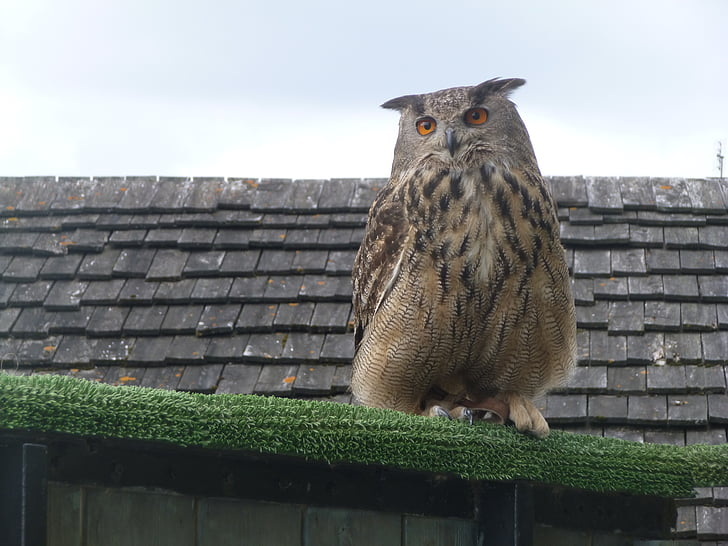 owl, bird, prey, bird of prey, nature, perched
