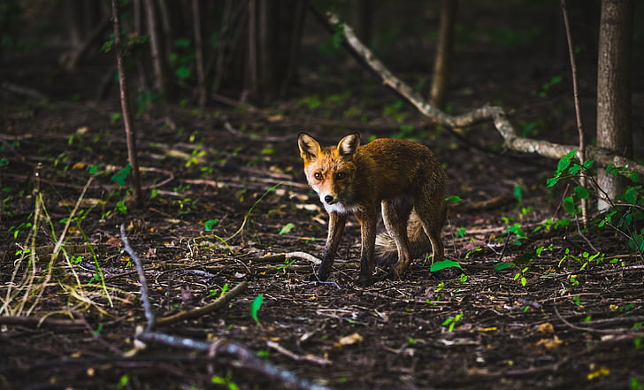 wolf, animal, nature, forest, trees, plant, outdoors