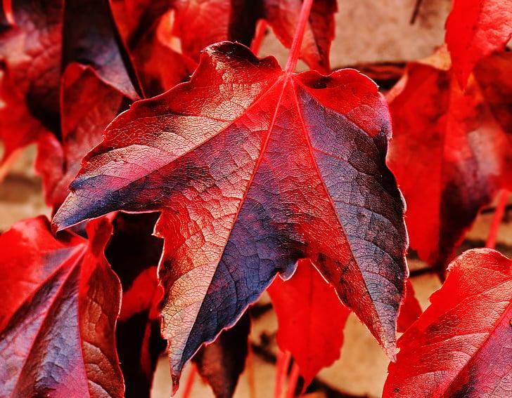 wine partner, wild vine leaves, plant, vine leaves, nature, hedera helix, wall