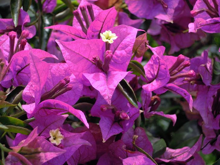 Бугенвиль, фиолетовый, бумажный цветок, bouqainvillea