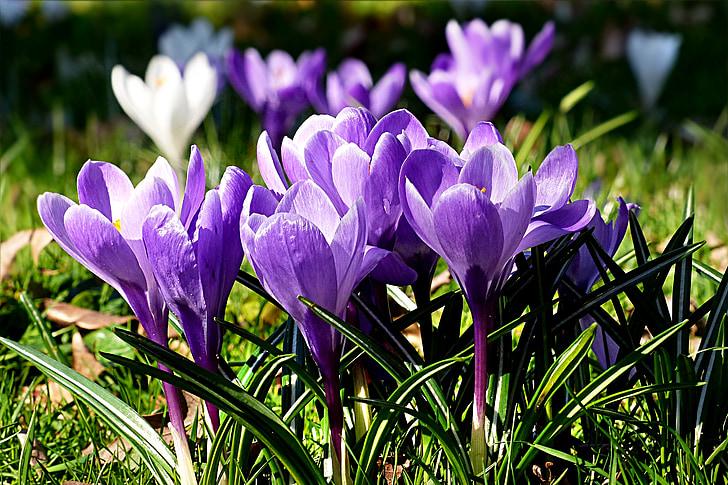 flor, safrà, violeta, primavera