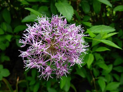flower, flowering shrub, blossom, bloom, hedge, bush, violet