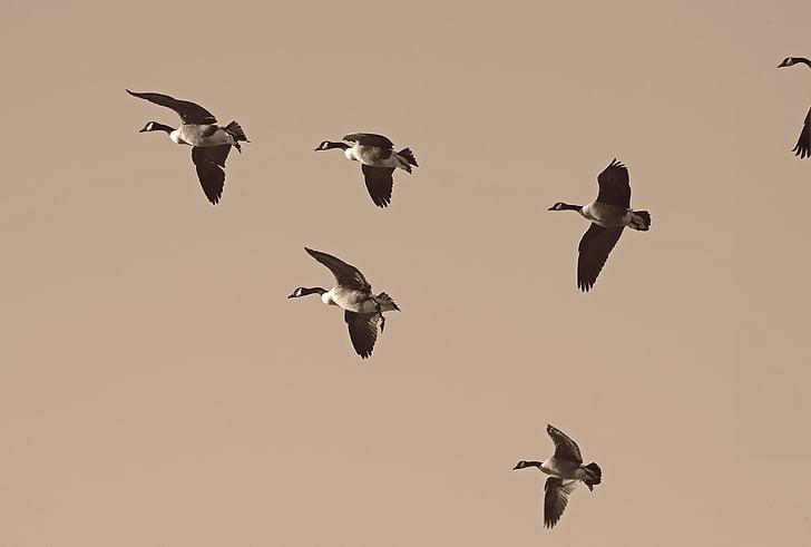 гъски, миграция, мигрират, стадо, мигриращи, водолюбивите птици, мигриране