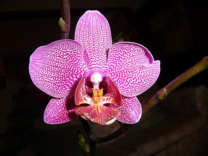 orquídia, Phalaenopsis, flor, porpra, taques, vibrants