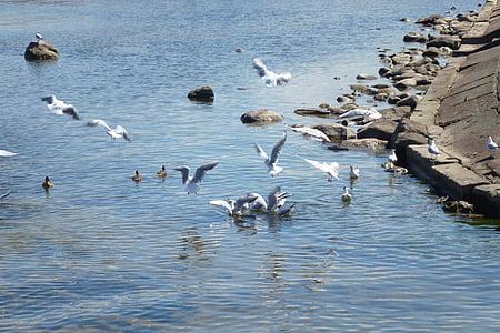 måsar, havet, stranden, flyg, fågel, Seagull, hamn
