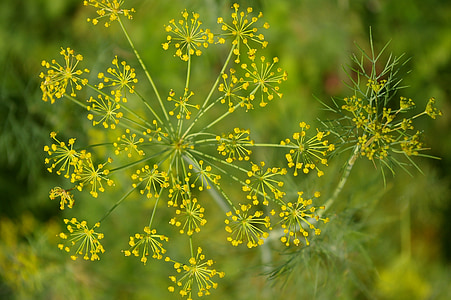 anet, verd, herba de cogombre, espècies, jardí, herba, herbes de cuina