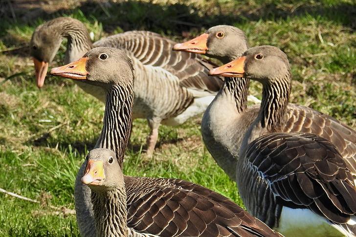 pilkosios žąsys, žąsys, naminiai paukščiai, vandens paukščių, laukinių žąsų, agresyvus, paukštis
